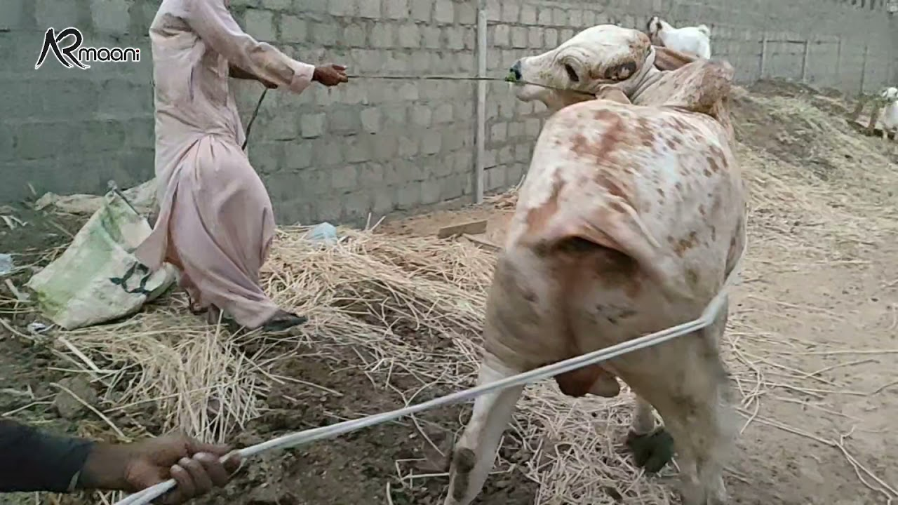 Unloading Video Of Big Bull At My Farm | AR Maani