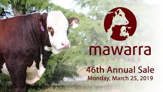 Mawarra Genetics 2019 Annual Sale