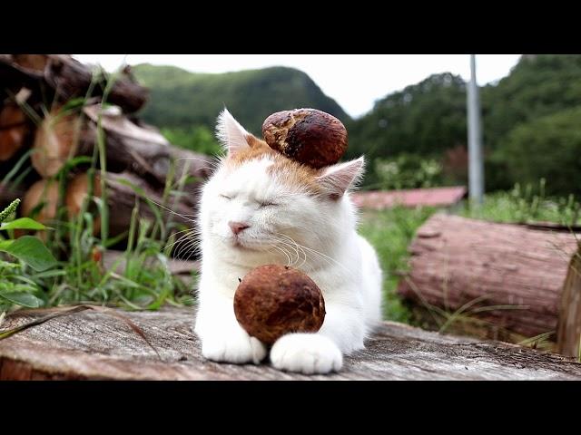 のせ猫 x 松茸 matsutake mushroom 2017