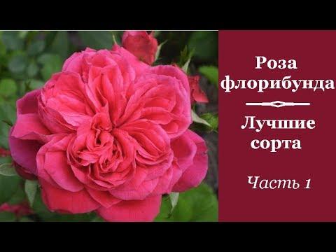 ❀ Роза флорибунда: лучшие сорта. Часть 1