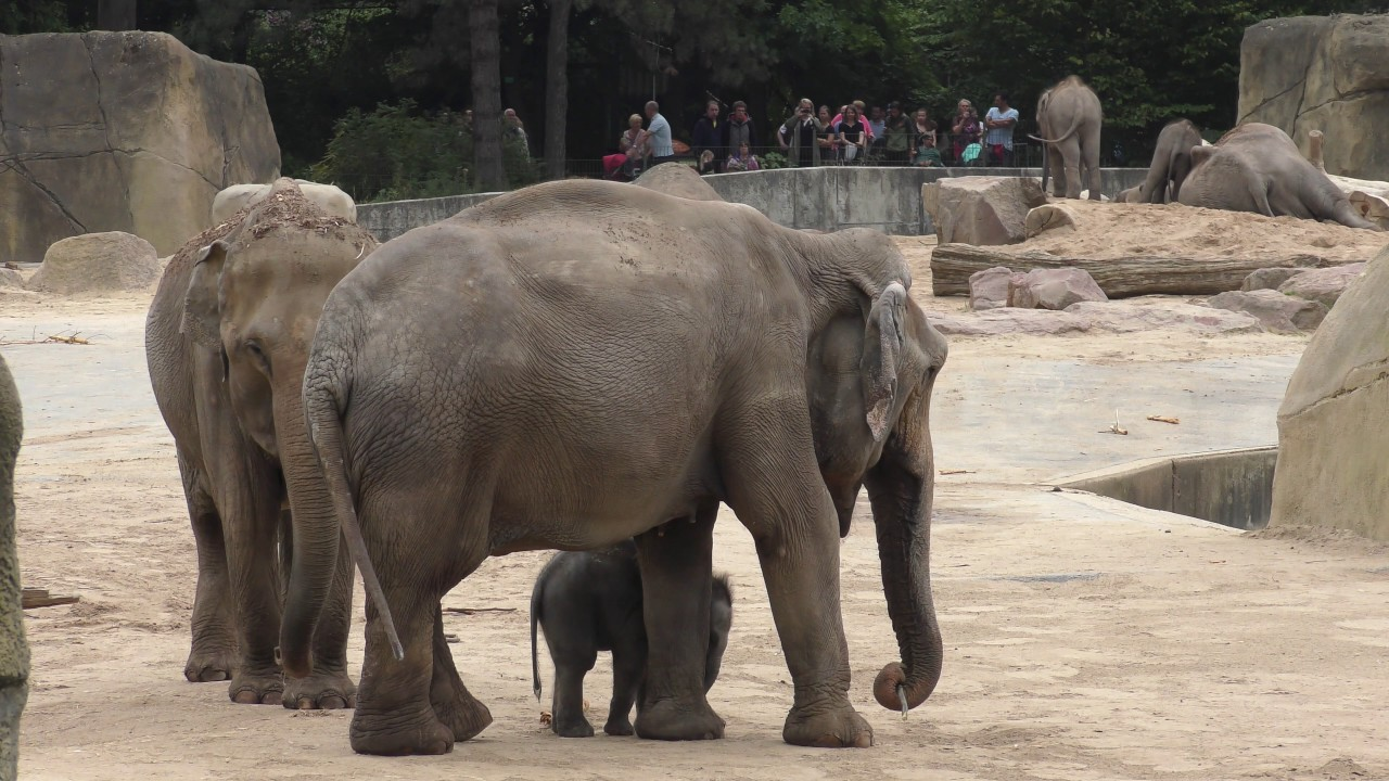Elefanten Kölner Zoo