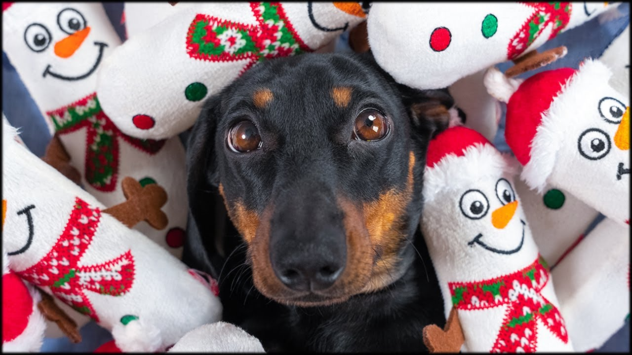 Sharing is caring! Cute & funny dachshund dog video!