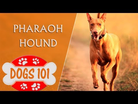 Dogs 101 -Pharaoh Hound - Top Dog Facts About the Pharaoh Hound