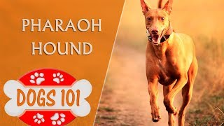 Dogs 101 Pharaoh Hound  Top Dog Facts About the Pharaoh Hound