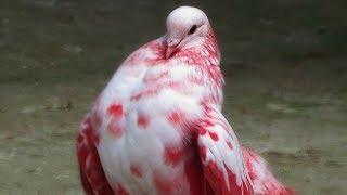 Необычные породы голубей