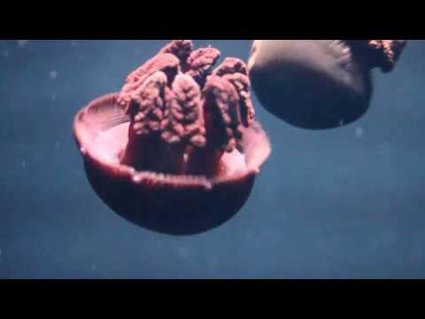 Purple Jellyfish (Catostylus Mosaicus)