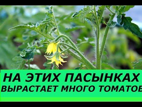 Как удалять пасынки на помидорах в открытом грунте видео