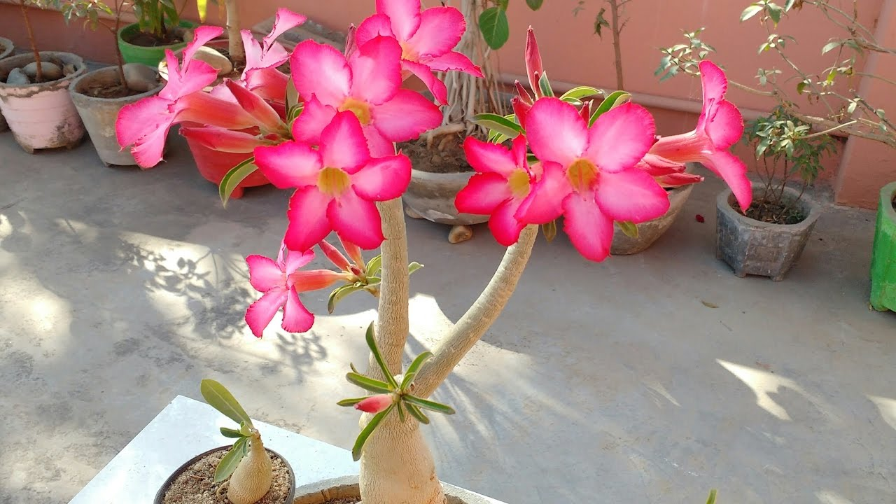How To Care Adenium Plant Bonsai With Flowers How To Care Desert Rose Adenium Adenium Bonsai Youtube