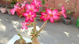 how to care adenium plant bonsai with flowers   how to care desert rose adenium adenium bonsai