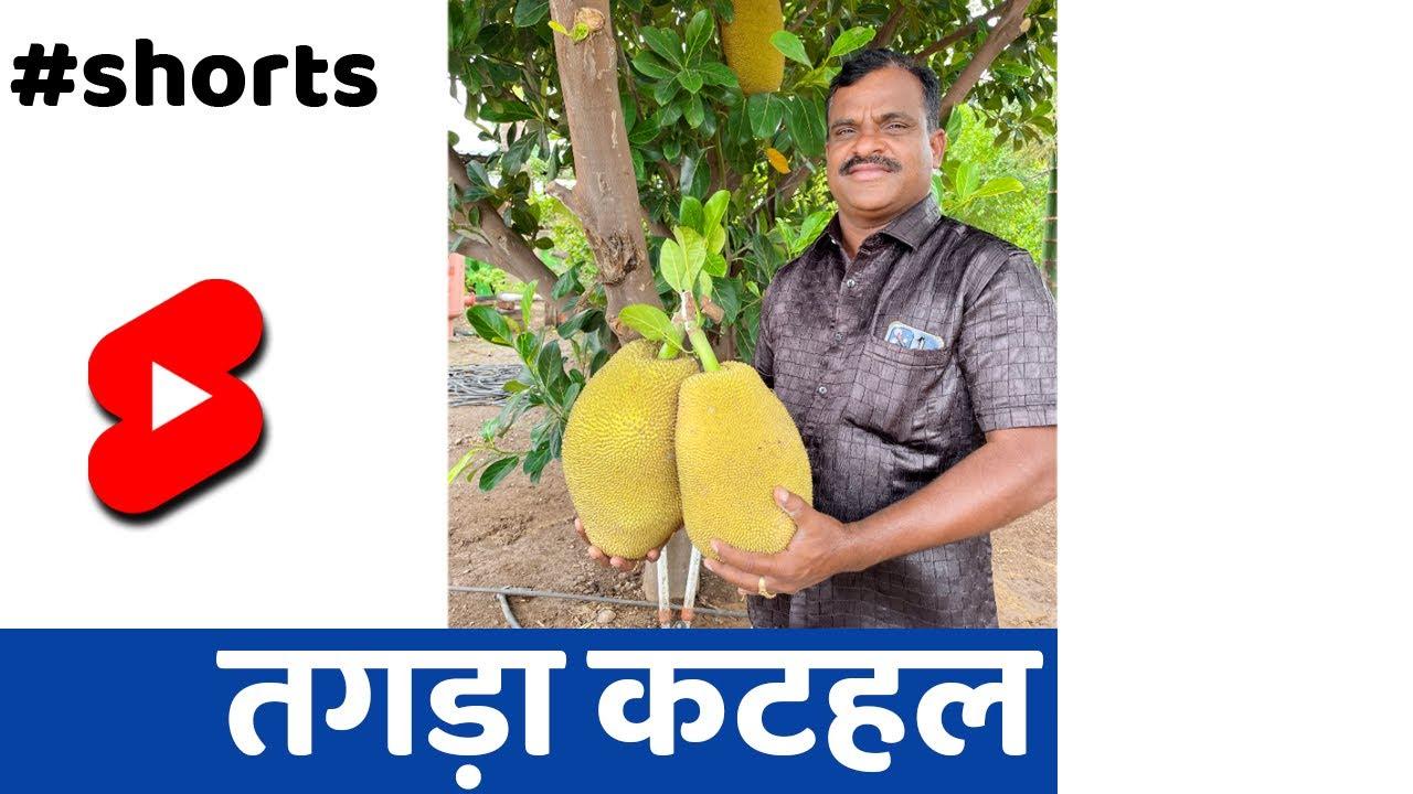 जबरदस्त कटहल🔥 #Shorts #indianfarmer #santoshjadhav