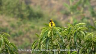 Yellow backed Oriole. Icterus chrysater - Turpial Montañero Colombian Birds
