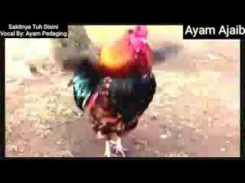 Dj asik goyang terus sakitnya tu disini. Ayam