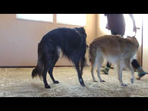 Silken Windhounds Basic Obedience