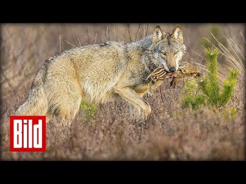 Der Wolf holt sich sein Revier zurück! - Der große BILD-Report