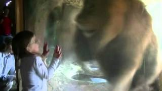 Powerful male lion attacks toddler through glass