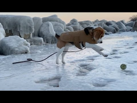 Cute beagle goes ice skating