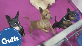 Miniature Pinscher | Crufts Breed Information