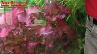 Die besondere Aquarienpflanze - Pflanzentipp von Zoo Petersen