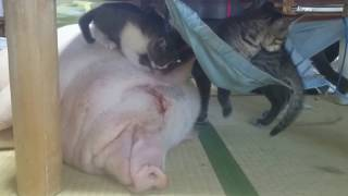 スヤスヤ、キャッキャ。なにをされても起きないブタと元気いっぱいの子猫たち