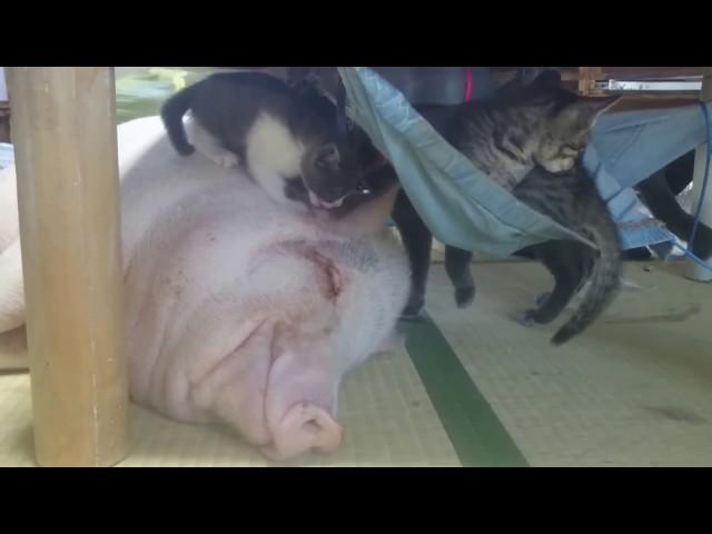 ミニブタの上で遊ぶ子猫