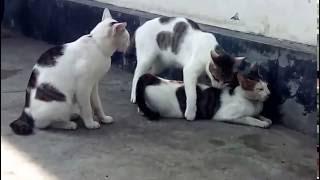 """Bigo Hots cat"""
