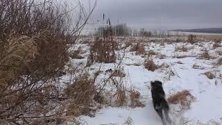 Охота с дратхааром на куропатку