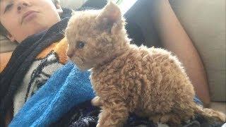 Удивительное появление кучерявого котёнка, удивило весь мир