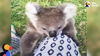 Rescued Baby Koala Bear Climbs Rescuer