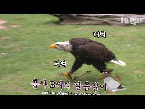 Bald Eagle Doesnt Want To Fly, Just Walk Like A Dog LOL