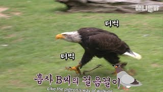 Bald Eagle Doesn't Want To Fly, Just Walk Like A Dog LOL