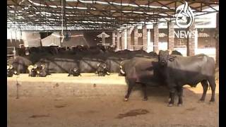 Dairy Pakistan: 6th Largest Milk Producer in the World Part 2