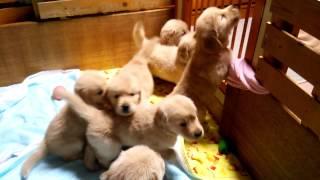 お友達のところで産まれたゴールデンレトリバーの子犬たちと戯れてきま...