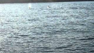 avvistamento a isola di  Rab in Croazia del secondo gruppo di delfini agosto 2010