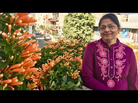 How to grow Orange Trumpet Vine with Aruna Agrawal(Ticoma Vine)