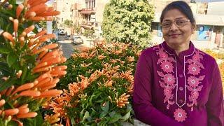 How to grow Orange Trumpet Vine with Aruna Agrawal