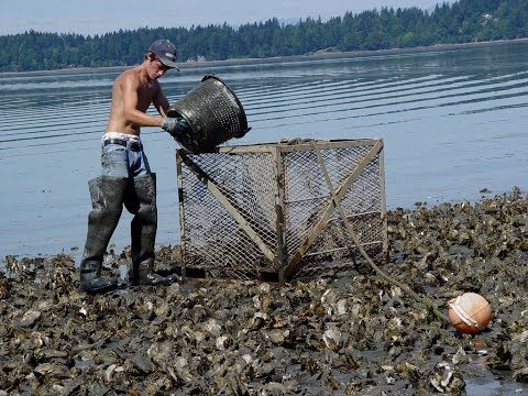 Amazing Harvesting Oyster And Cleaning Mussels On Beach