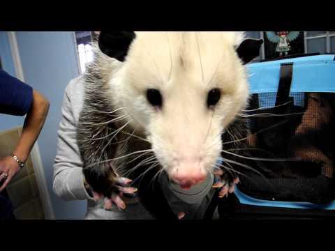Pet Opossum Complaining