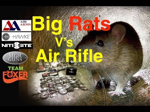 Morgen - How Many Rats Can He Kill With an Air Rifle?