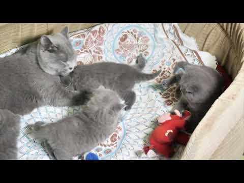 Британские котята в возрасте 4 недели (Litter- L2)