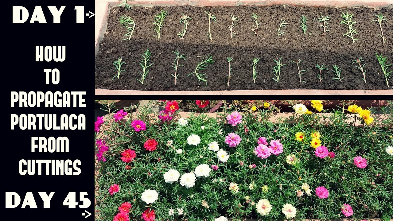 How To Propagate Portulacamoss Rose From Cuttingswith Update