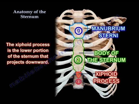 Anatomy Of The Sternum - Everything You Need To Know - Dr. Nabil ...