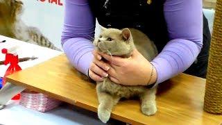 видео голубой плюшевый шотландский  короткошерстный кот страйт