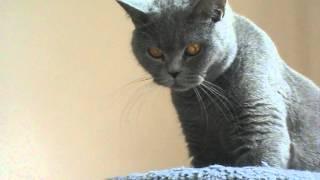 Британская кошка. Fortuna Fiesta Silvery Snow