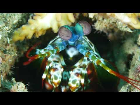 4K Movie Peacock manthis shrimp (Odontodactylus scyllarus)