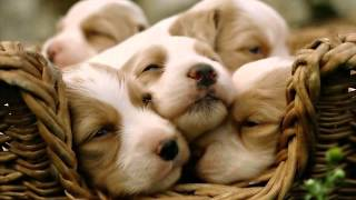 Cute Beagle Puppy Wallpaper