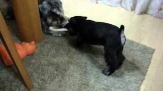 シュナウザーももすけのところに仔犬のきょうすけがやってきました。