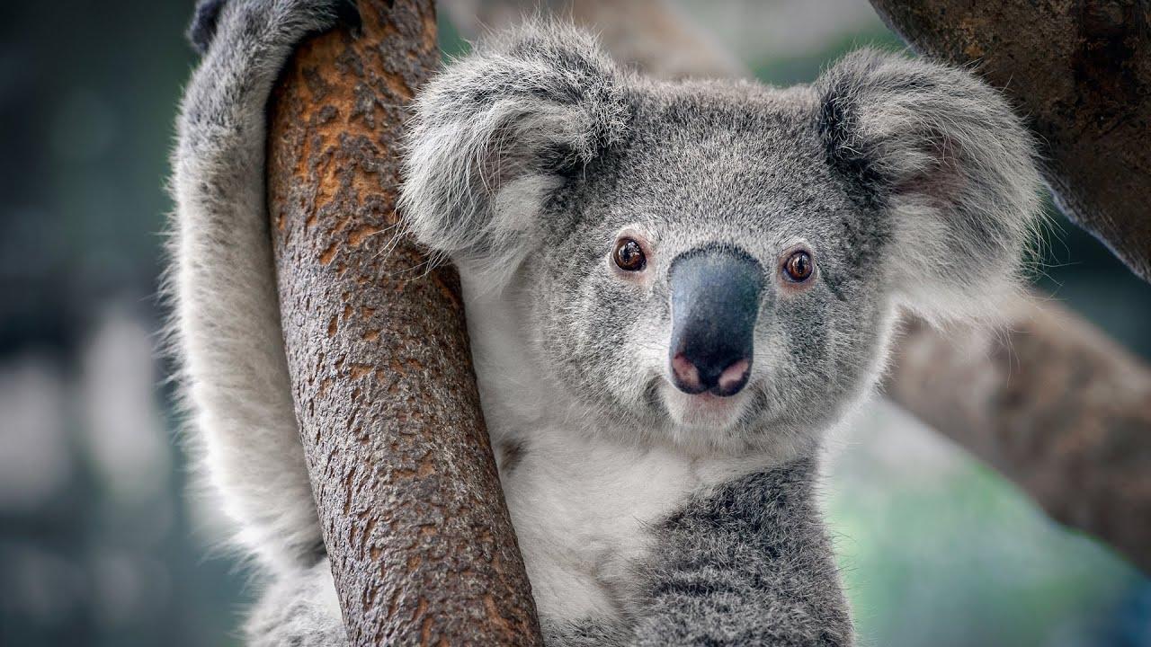 حقائق عجيبة ومذهلة عن حيوان الكوالا !!