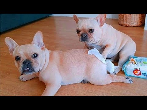 Try not to laugh | Cute and Funny French Bulldogs doing funny things # 8 (2019)| Cute Pets