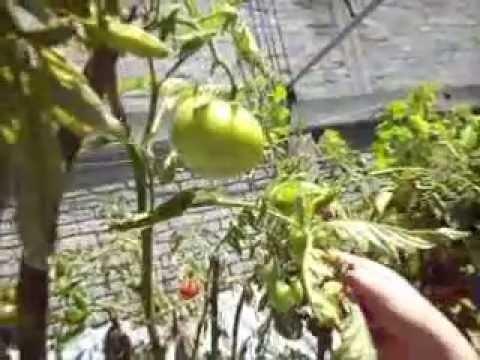 Como sembrar jitomate una forma de sembrar jitomates en Como cultivar peces en casa