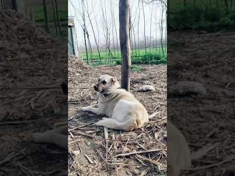 My Dog Kurdish Kangel Youtube